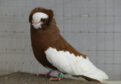 Un show de pigeons et volailles bonifié